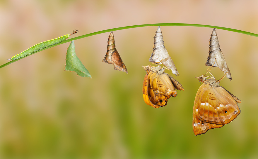 Just like that! - Life cycle of female black prince butterfly