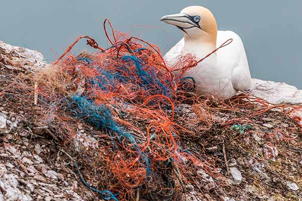 Gannet-nesting-on-rock-by-discarded-fishing-net