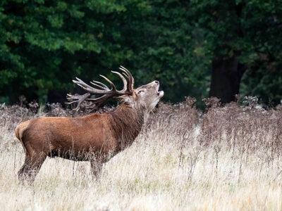 Biodiversity-Crisis-Red-Deer-Stag-Richmond-Park
